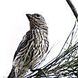 Female Finch 4