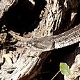 ARIZONA BLACK RATTLESNAKE 1