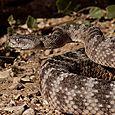 Tiger Rattlesnake 9