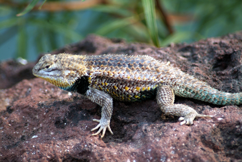 ARIZONA LIZARDS: Desert Spiny lizard