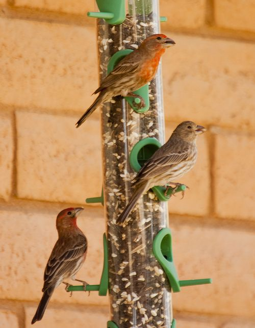 Male and Female Finch