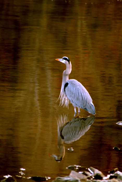 Great_blue_heron_print_1